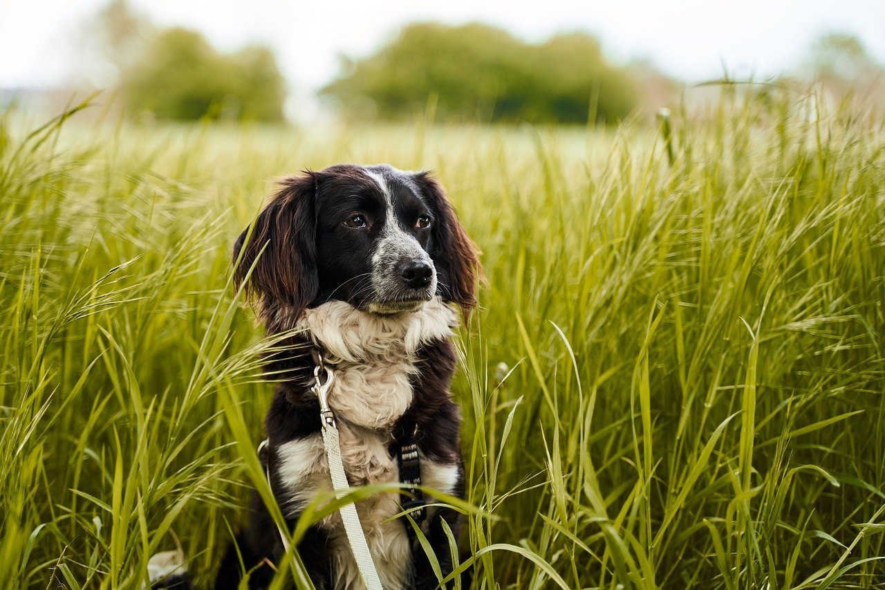 dog, field, green